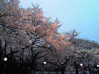 としまえん17時台の桜