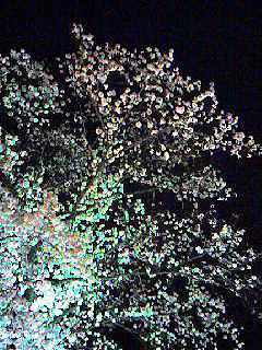 としまえん夜桜2.jpg